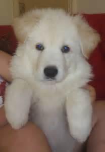 Long haired white german shepherd puppies