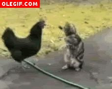 gifs de gatos chistosos imagenes gif pelea de un gallo contra un gato gif 302
