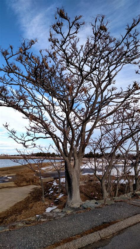 invasives   spotlight tree  heaven unh extension