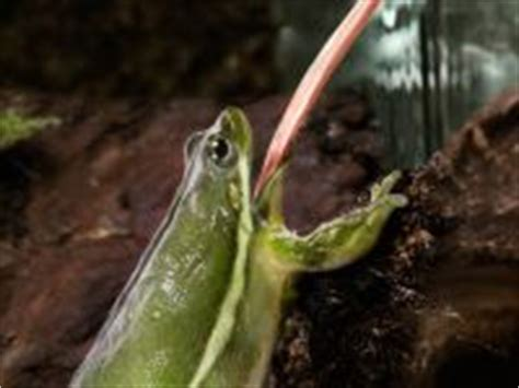 12 best images about frogs eating things on pinterest