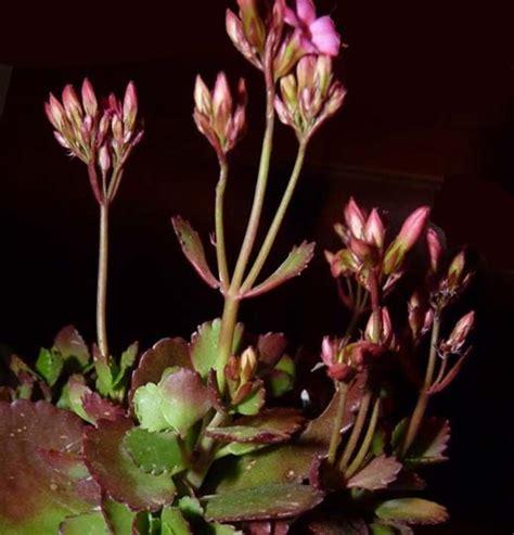 fiore con la q k di kalanchoe blossfeldiana e calandiva come