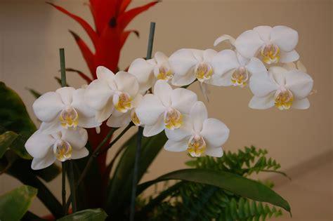 imagenes licras blancas file orquideas blancas jpg wikimedia commons