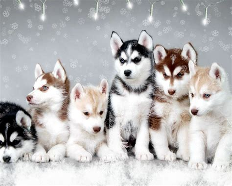pictures of husky dogs husky s by koddy lozano thinglink