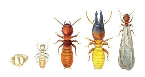 termite pest control   termite treatment