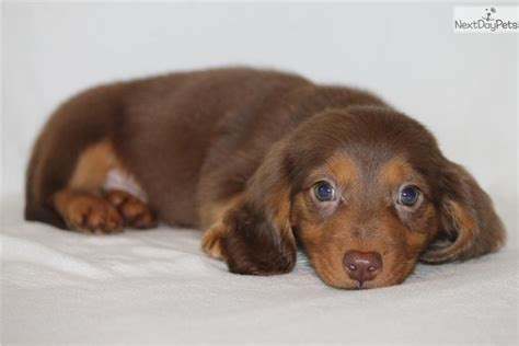 dachshund puppies dallas miniature dachshund puppies for sale dallas tx dogs in our photo