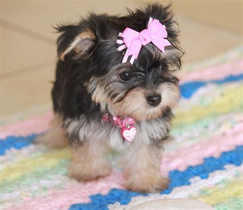yorkies morkies and more 13 best images about morkie yorkie maltese mix on cutest dogs ux ui