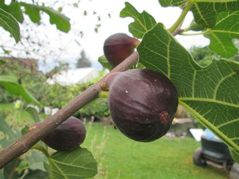 Cari Bibit Tin jual bibit cangkok pohon buah fig tin ara jenis salem