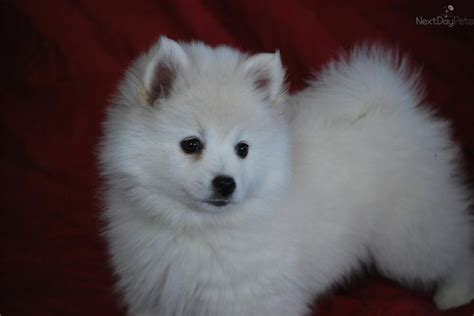 american eskimo puppy for sale miniature american eskimo dogs american eskimo for sale breeds picture
