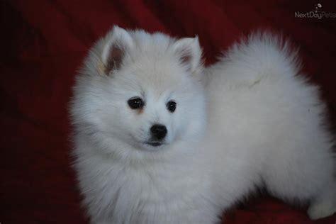 miniature american eskimo puppies for sale american eskimo puppy for sale near provo orem utah ca9caeec 9e11