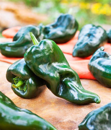 poblano ancho hot pepper medium heat smoky flavor