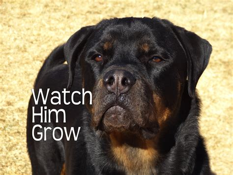 rottweiler performance uk rottweilers year him grow doovi