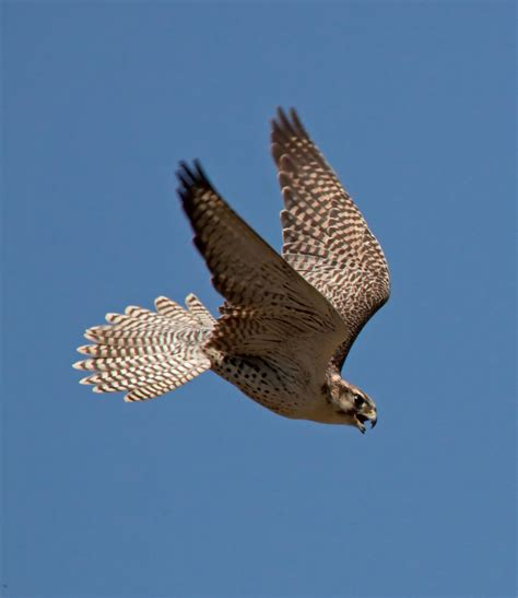 images of a falcon file falcon 5 5634955545 jpg