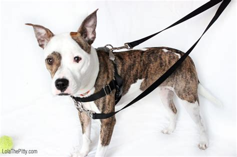 freedom harness the freedom no pull harness lola the pitty