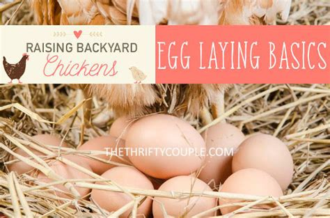 Backyard Chickens Beyond The Basics Raising Backyard Chickens Egg Laying Basics