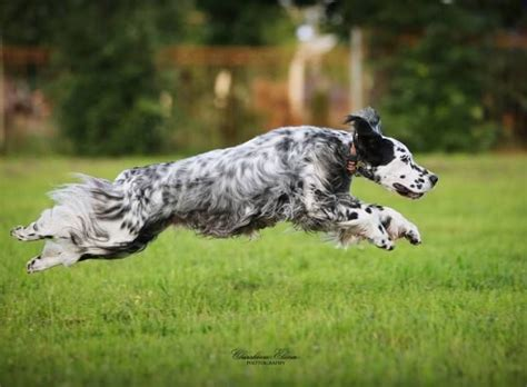 setter dog fable 3 1000 images about setters on pinterest spaniels irish