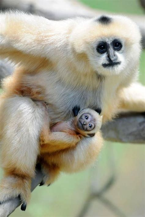 amazing animal babies 1405284285 amazing mother with her baby gibbon mommy animals baby animals and