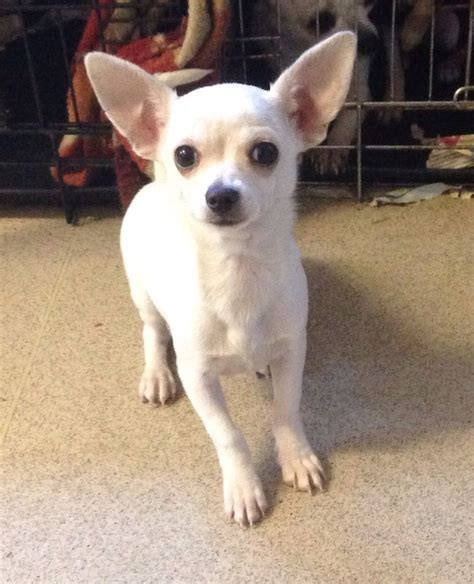white chihuahua puppies for sale 6 month white chihuahua for sale east pets4homes