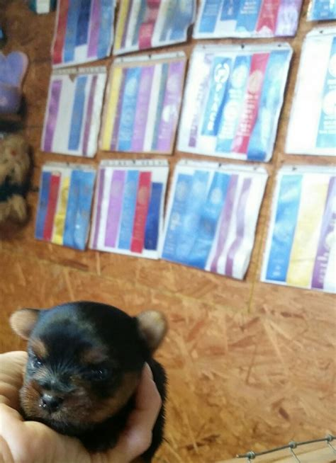 yorkie puppies for sale in greenville sc puppies that are sold yorkie puppies for adoption poodles for sale greenville