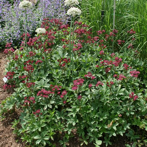 buy masterwort astrantia major ruby wedding delivery by