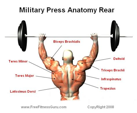 does bench press work biceps rear military press anatomy workout pinterest