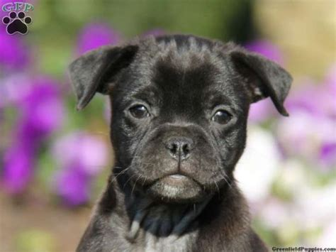 pug mixed with pitbull pug pitbull mix black pug pomeranian mix a pug animals black pug