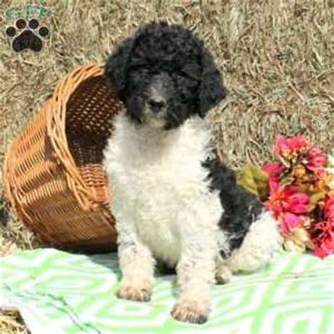 puppies in lancaster pa poodle puppies lancaster pa photo