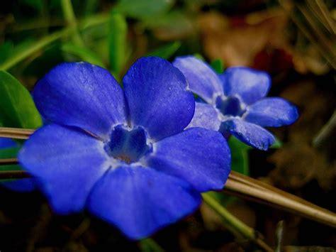 colore fiori pervinca colore perenni la pervinca e il suo colore
