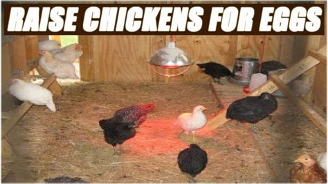 how to raise backyard chickens for eggs chickens for eggs in backyard gogo papa com