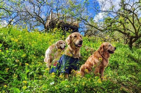 golden retriever festival 2017 scotland 5 places to visit if you animals femina in