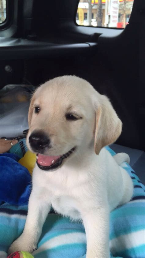 golden retriever rescue ta fl venta labrador queretaro merry photo