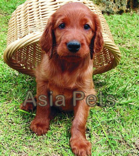 irish setter dog for sale in india irish setter puppies for sale 174 9911293906 orissa dogs