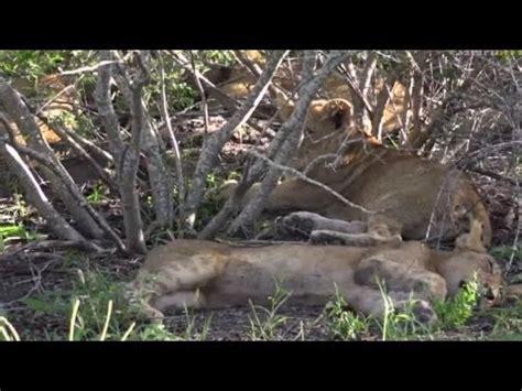 safari live : the nkuhuma pride with tayla on drive this