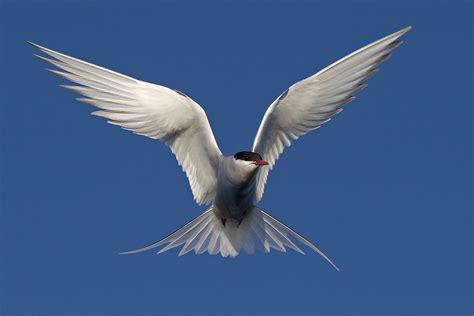on the wing travels with the songbird migration of books the arctic tern