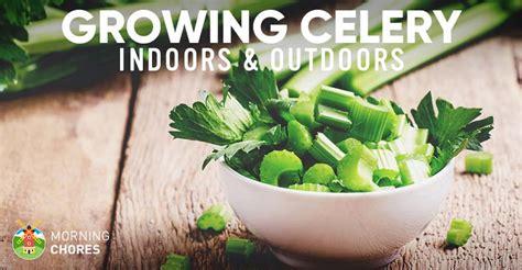 growing celery  varieties planting guide care