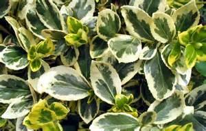 Variegated Foliage Plants - foliage plants