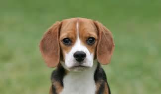 do beagles shed bunkblog