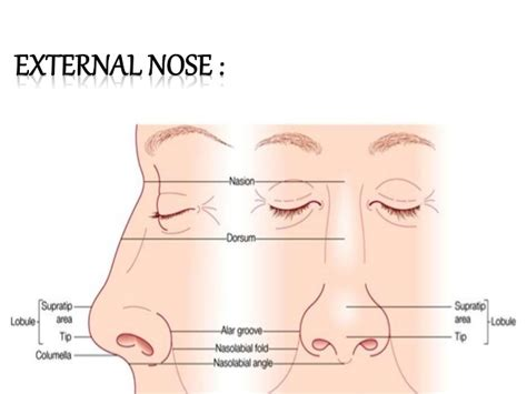 labelled diagram of the nose human anatomy nose anatomy external diagram nose anatomy