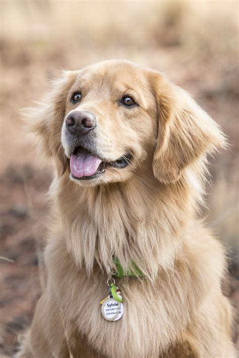 golden retriever photography happy tails sylvie ellie and macie daily tagdaily tag