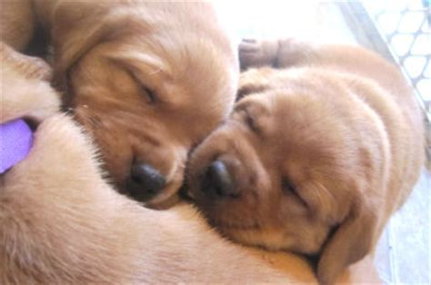 how much do lab puppies cost how much do fox labrador retrievers cost breeds picture