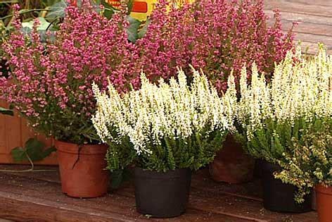 erika pflanze bl 252 ten f 252 r graue tage orf salzburg fernsehen