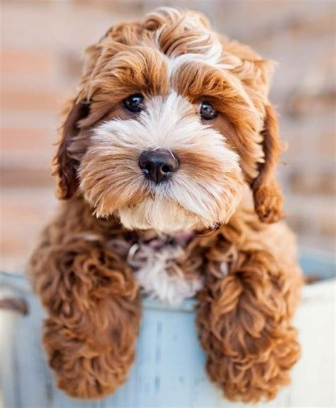 cocker spaniel poodle mix puppies 21 poodle cross breeds you to see to believe
