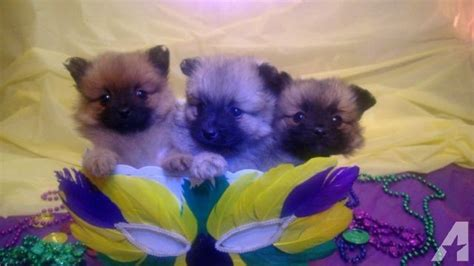 pomeranian puppies for sale md tiny teacup ckc reg pomeranian puppies for sale in clinton maryland classified