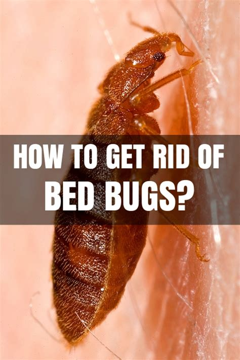 rid  bed bugs  home   kill bed bugs
