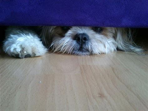 shih tzu sick 1000 images about shih tzu on puppys pets and teddy bears