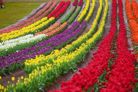 wallpaper bunga dan kupu2 susahnya merawat dan mengembangkan bunga tulip okezone news