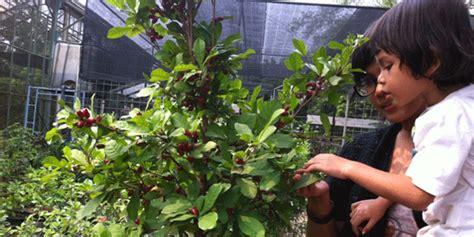 Promo 2 Bibit Miracle Fruits Si Buah Ajaib jendela informasi mekarsari buah ajaib