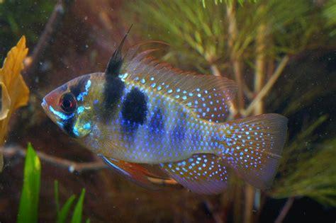 ram fish how to breed the ram mikrogeophagus ramirezi practical