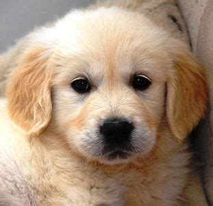 1 month golden retriever puppy bathroom staging puppy perspective home design 2 sell