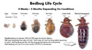 Where Did Bed Bugs Originate How To Get Rid Of Bed Bugs Fast