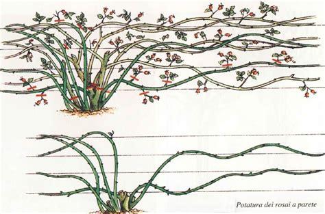 Come Coltivare Le Roselline In Vaso by Quando Si Potano Le Potatura Quando Potare Le